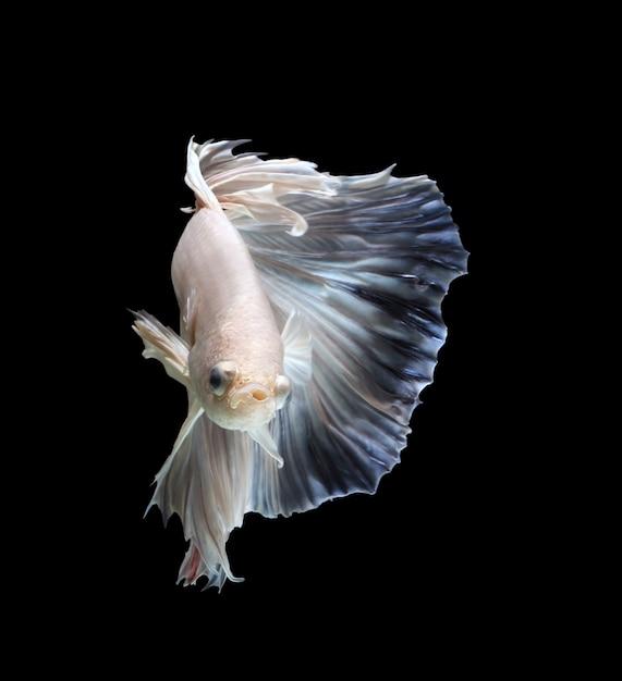 Siamese kempvissen tonen de prachtige vinnenstaart Premium Foto