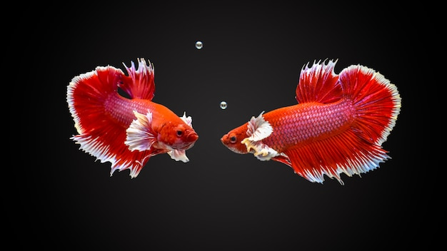 Siamese vechtenvissen Premium Foto