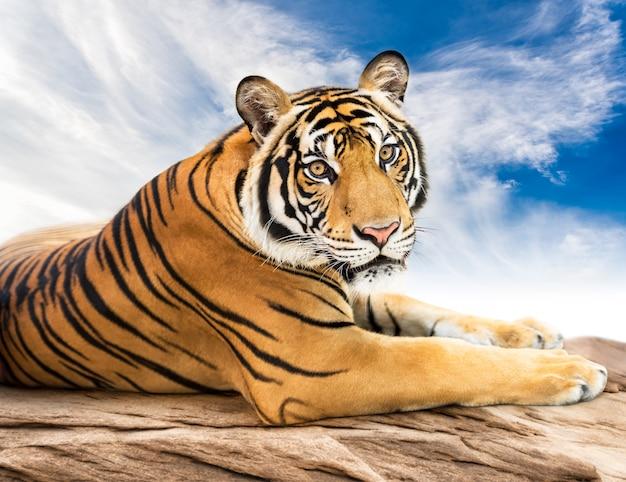 Siberische tijger op zoek Premium Foto