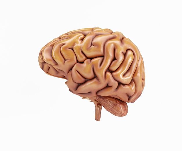 Side brain's Gratis Foto