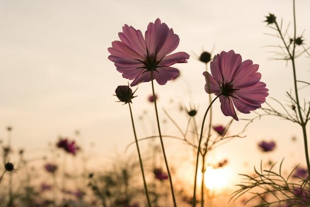 Silhouet roze kosmos bloemen in de tuin Gratis Foto