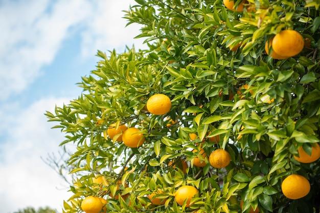 Sinaasappelenvruchten met blauwe hemel Premium Foto