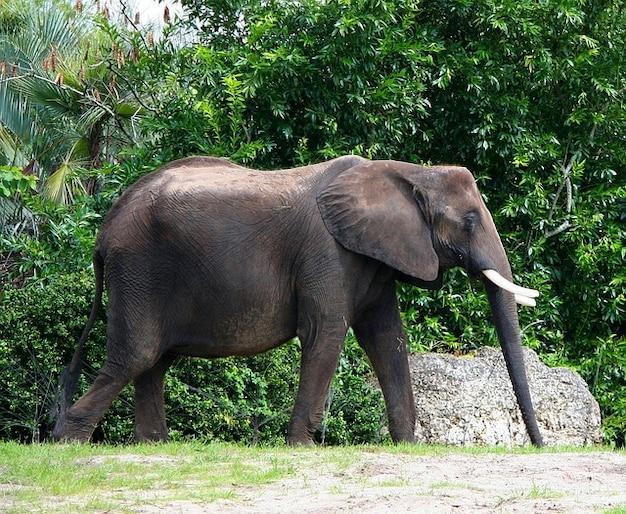 Slagtand olifant afrikaanse dikhuid stier ivoor Gratis Foto