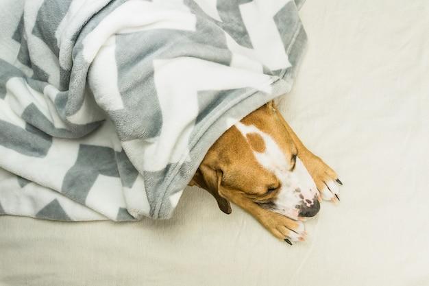 Slaperig staffordshire terriër pup bedekt met plaid rust binnenshuis in opgeruimde minimalistische bed Premium Foto