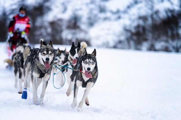 Sledehonden in snelheid racen Premium Foto
