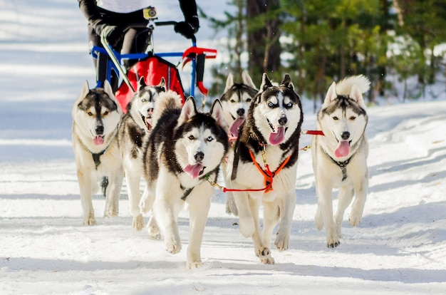 Sledehonden race competitie Premium Foto