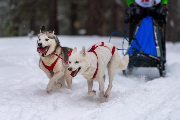Sledehonden racen. husky sledehonden team in harnas run en pull dog driver. wintersport kampioenschap competitie. Premium Foto