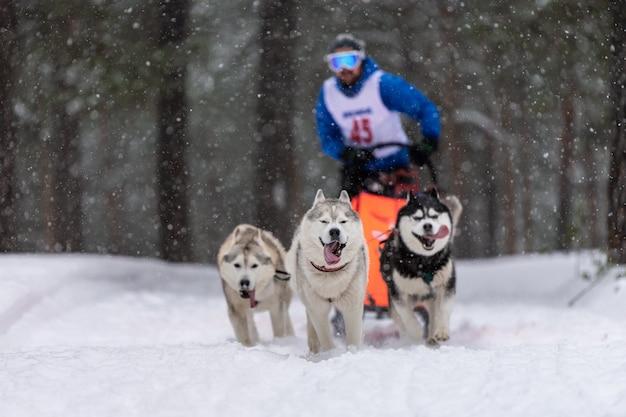 Sledehonden racen. husky sledehonden team trekt een slee met hondenbestuurder. winter competitie. Premium Foto