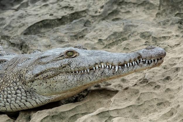 Sluit hoek die van een deel van het hoofd van een krokodil is ontsproten dat op zand wordt gezet Gratis Foto
