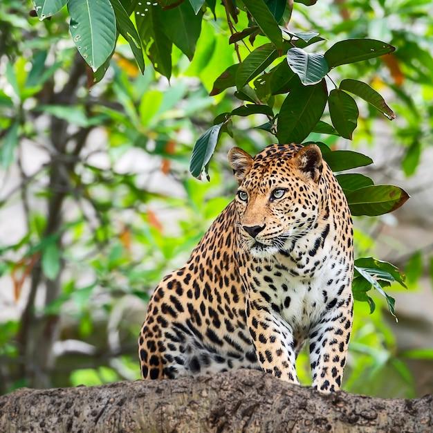 Sluit luipaard omhoog. Premium Foto