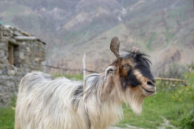 Sluit omhoog de geit van kashmir met mooie baard, india Premium Foto