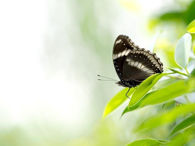 Sluit omhoog een zwarte vlinder op groen blad Premium Foto