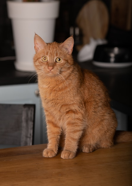Sluit omhoog foto van rode kat met groene ogen kijkend recht naar camera. Premium Foto