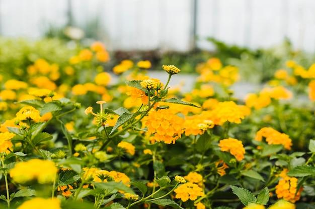 Sluit omhoog gele hydrangea hortensia binnen serre Gratis Foto