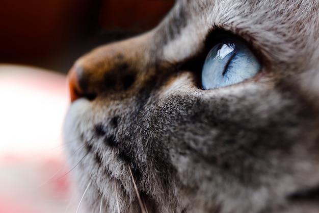 Sluit omhoog geschoten van het oog van een blauwe kat Premium Foto