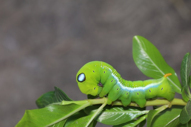 Sluit omhoog groene worm of daphnis-neriworm op de stokboom in aard en milieu Premium Foto
