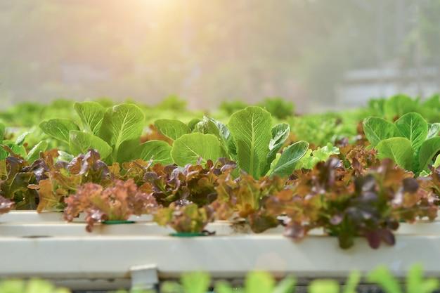 Sluit omhoog handlandbouwer in hydroponic tuin tijdens het voedsel van de achtergrond ochtendtijd concept Premium Foto