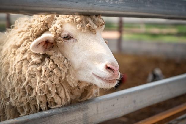 Sluit omhoog hoofd van schapen Premium Foto