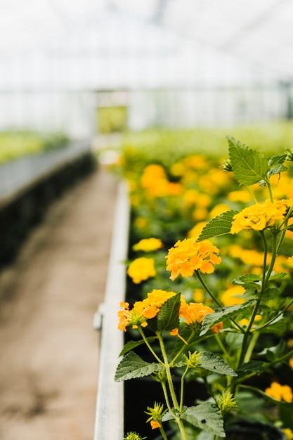 Sluit omhoog hydrangea hortensia binnen serre Gratis Foto