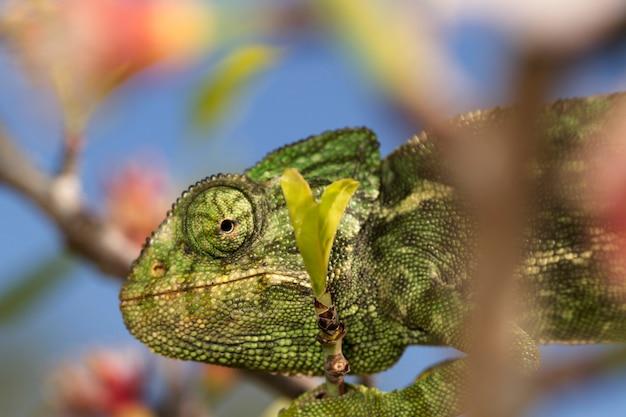 Sluit omhoog mening van een leuk groen kameleon op de wildernis. Premium Foto