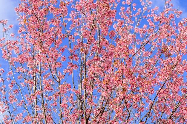 Sluit omhoog mooie roze kers van kersenprunus cerasoides wilde himalayan zoals sakusabloem bloeiend in noord-thailand, chiang mai, thailand. Gratis Foto