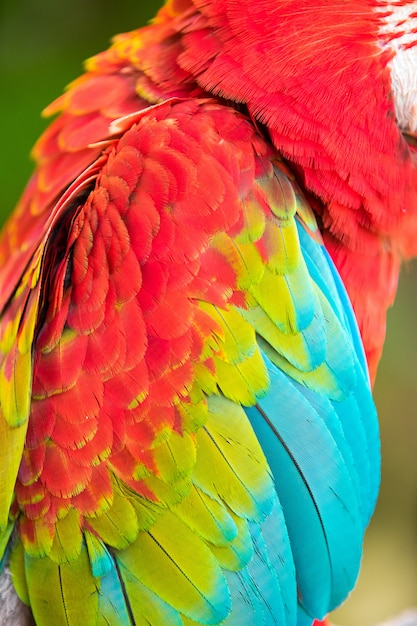 Sluit omhoog op de kleurrijke veren van een papegaai Premium Foto