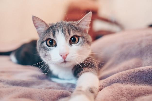 Sluit omhoog portret van grappige grijze en witte kat met gele ogen liggend op een bed Premium Foto
