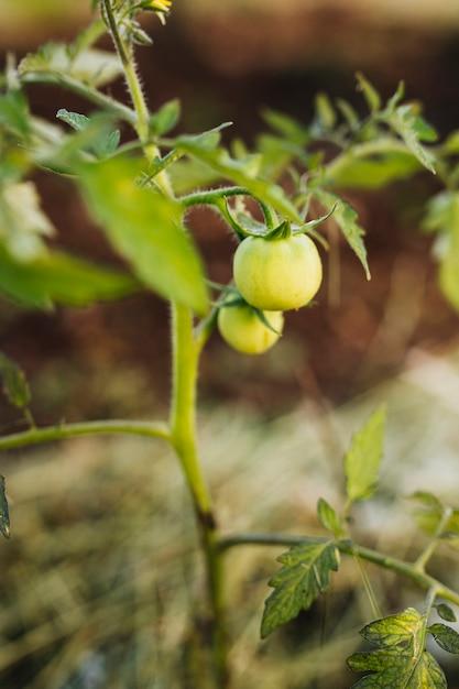 Sluit omhoog tomatoe installatie in de tuin Gratis Foto