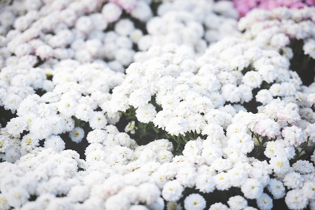 Sluit omhoog van achtergrond van de de chrysanten de mooie textuur van de bosbloem witte / van de chrysantenbloemen bloeiende het festivalviering bloeien Premium Foto