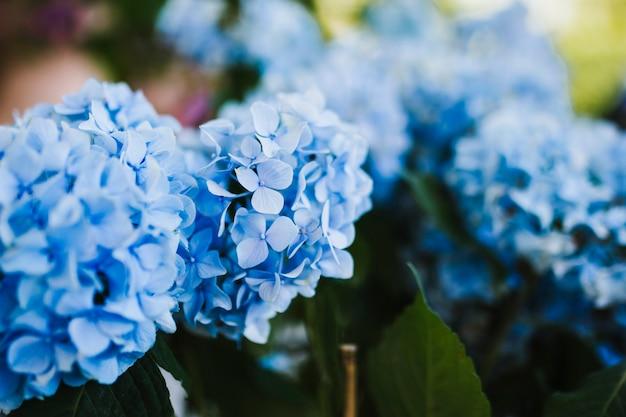 Sluit omhoog van blauwe hydrangea hortensia Gratis Foto
