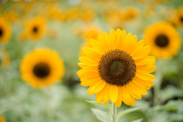 Sluit omhoog van bloeiende zonnebloem op het gebied met vage aardachtergrond. Gratis Foto