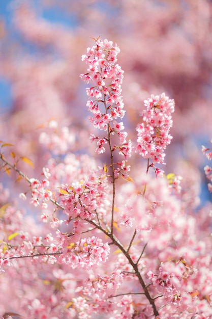 Sluit omhoog van de bloem van de kersenbloesem tijdens hanami-festival Premium Foto