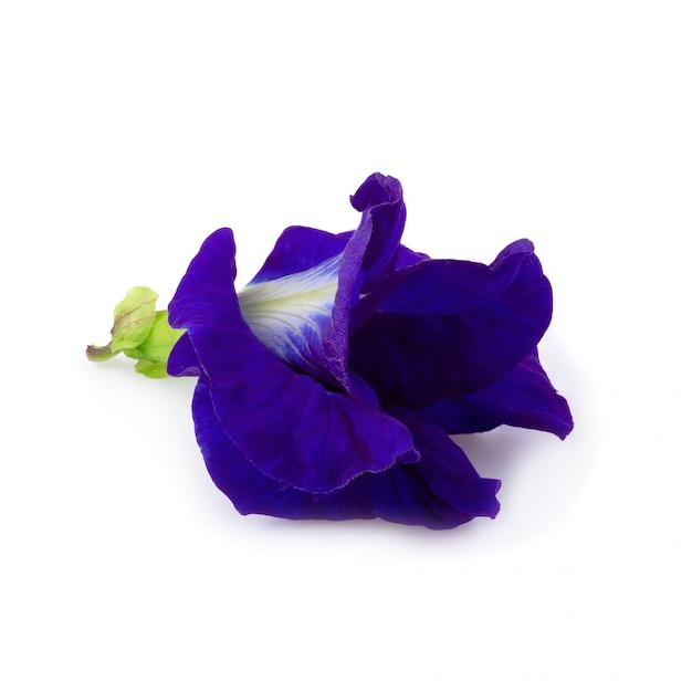 Sluit omhoog van de bloem van de vlindererwt op een witte achtergrond wordt geïsoleerd die Premium Foto