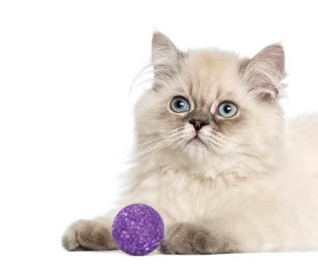 Sluit omhoog van een brits langharig katje met purpere bal Premium Foto
