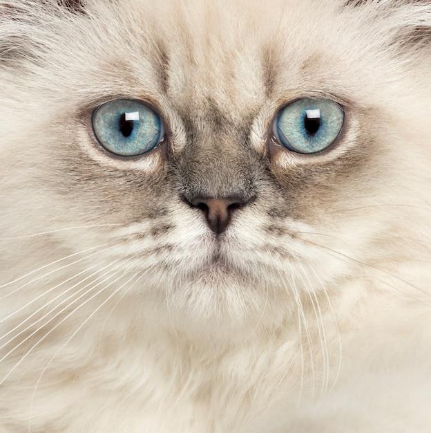 Sluit omhoog van een brits langharig katje Premium Foto
