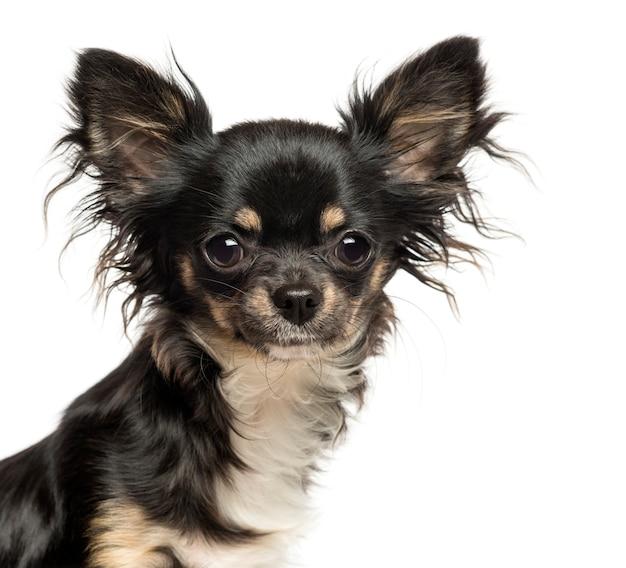 Sluit omhoog van een chihuahua bekijkend de camera die op wit wordt geïsoleerd Premium Foto