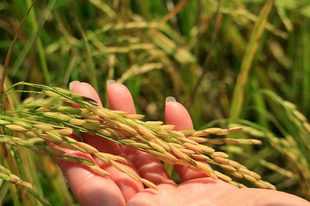 Sluit omhoog van een vrouwelijke hand houdend rijpe rijstkorrels van de rijstinstallaties op padiegebied Premium Foto