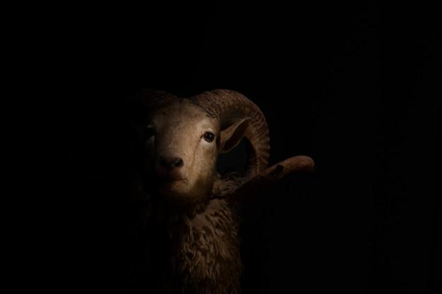 Sluit omhoog van hoofd en hoornen van een gehoornd schaap op zwarte achtergrond. Premium Foto