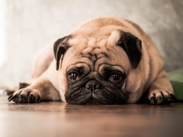 Sluit omhoog van leuke pug hond liggend op houten vloer thuis. Premium Foto