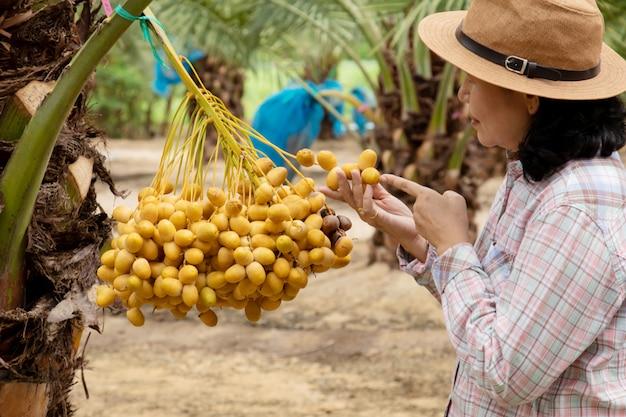 Sluit omhoog van tuinman die de aanplanting van dadelpalmen behandelen Premium Foto
