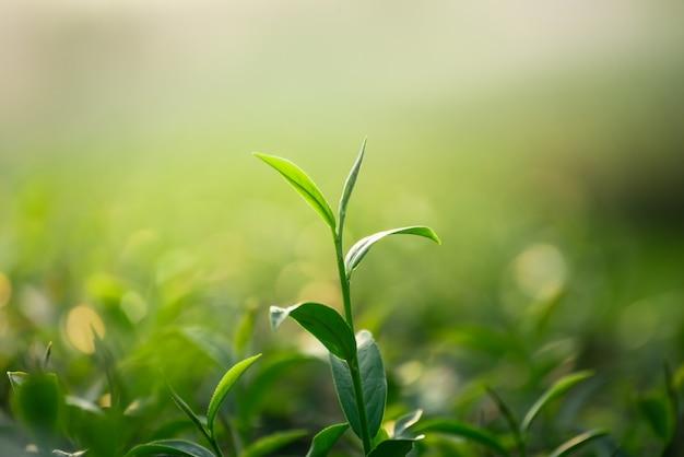 Sluit omhoog van verse groene theebladen op bokehachtergrond Premium Foto