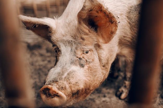 Sluit omhoog van vuil varken kijkend trogomheining terwijl status in varkensstal. Premium Foto