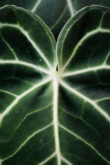 Sluit omhoog van xanthosoma-bladeren Gratis Foto