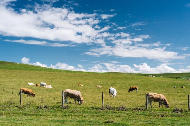 Sluit schot van koeien in het grasveld onder een blauwe bewolkte hemel overdag in frankrijk Gratis Foto