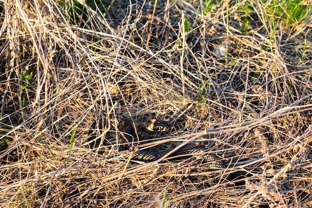 Snake gras textuur Premium Foto
