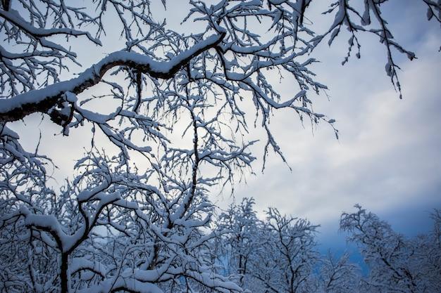 Sneeuwbomen en bos in nuorgam Premium Foto