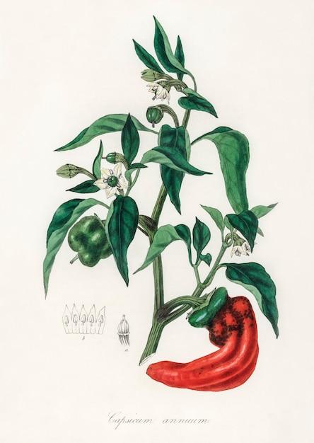 Snoepje en chili pepers (capsicum annuum) illustratie van medische plantkunde Gratis Foto