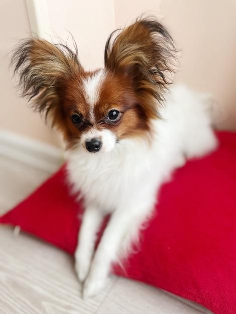 Soft focus schattige puppy papillon wit bruin ligt op een rood kussen Premium Foto