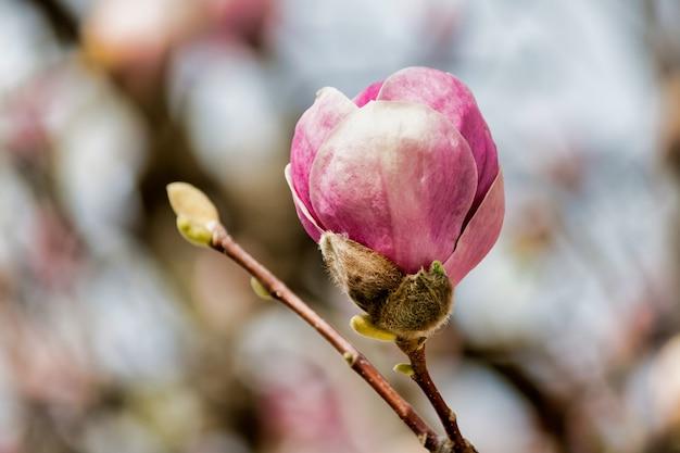 Soft focus van een roze magnolia-knop op een boom Gratis Foto