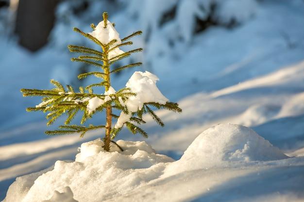 Sparrenboom met groene naalden bedekt met diepe sneeuw. Premium Foto